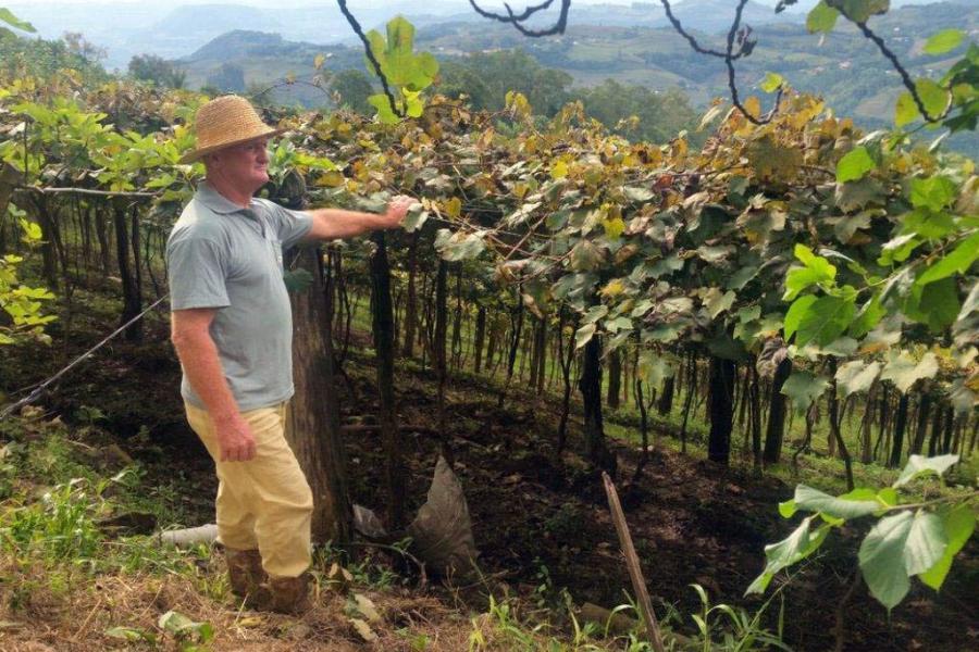 O produtor Raimundo Zucchi, em sua propriedade na Linha Eulália, zona rural de Bento Gonçalves, onde planta sete variedades de uva