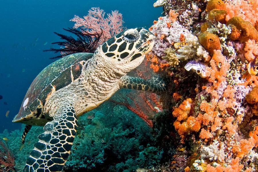 Tartaruga nada em recife de coral nas Maldivas