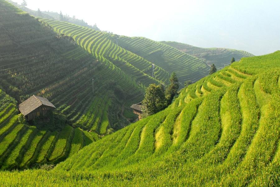 Terraços de arroz na China utilizam métodos inovadores de cultivo