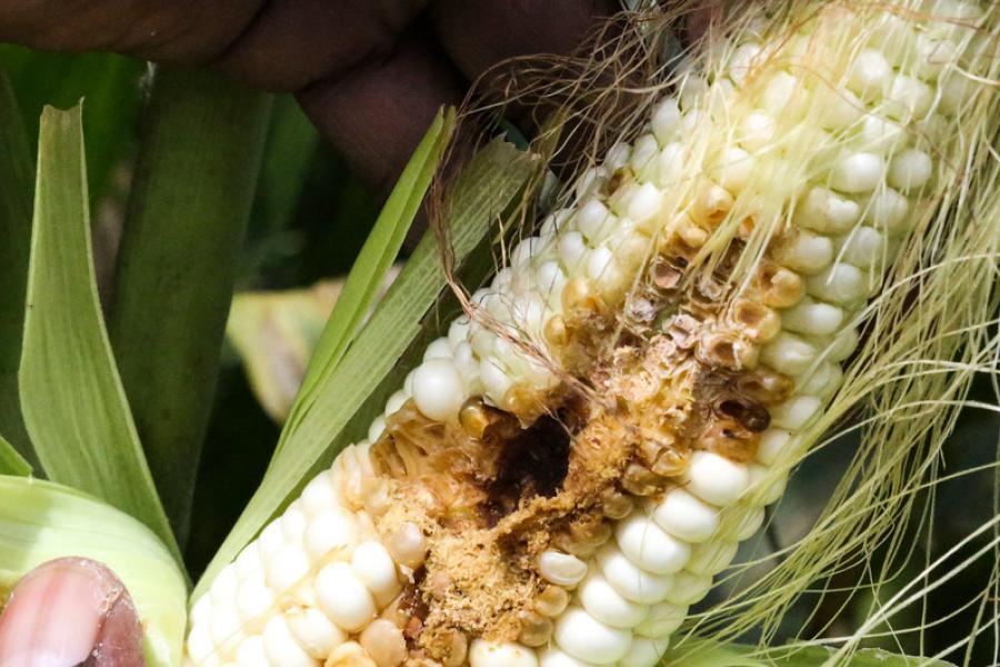 Uma safra de milho é atacada pela lagarta-do-cartucho em Goromonzi, no Zimbábue